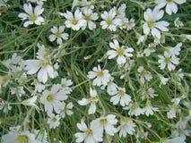Cerastium kwiaty Zdjęcie Stock