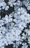 Cerastium. small white flowers in spring Stock Photo