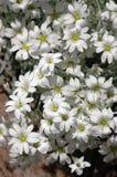 Cerastium Tomentosum Royalty-vrije Stock Afbeeldingen