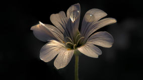 Cerastium Tomentosum 001 Imagem de Stock