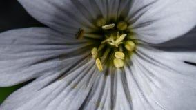 Cerastium Tomentosum 002 Стоковое фото RF