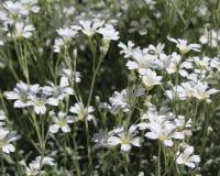 Cerastium tomentosum royalty free stock photos