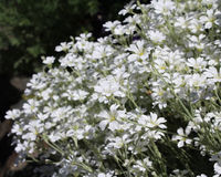 Cerastium tomentosum royalty free stock photo