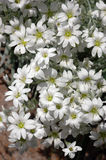 Cerastium Tomentosum. Closeup of large cluster of small white Snow-in-Summer flowers on a sunny summer day Royalty Free Stock Images