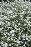 Cerastium tomentosum in bloom in late spring Royalty Free Stock Image
