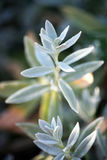 Cerastium tomentosum (lato) Obrazy Royalty Free