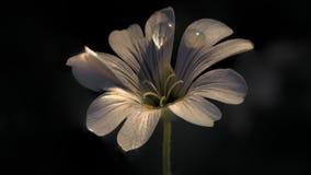 Cerastium Tomentosum 001 Stock Image