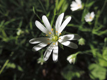 Cerastium. White flower of Cerastium bloomed in the forest Royalty Free Stock Photo