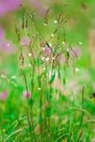 Cerastium Wildflower Stock Photography