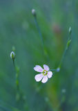 Cerastium Royalty Free Stock Photo