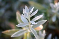 Cerastiumtomentosum (de sneeuw-in-Zomer) Royalty-vrije Stock Afbeelding