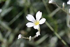 Cerastiumtomentosum (de sneeuw-in-Zomer) Royalty-vrije Stock Foto's