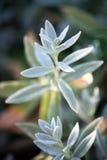 Cerastiumtomentosum (Snö-i-sommar) Royaltyfria Bilder