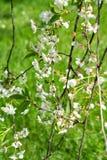 Cerasus aigre de Cherry Prunus photographie stock