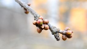 Cerasus avium. Flower buds on cherry tree branch - macro. Cerasus avium. Macro of mature flower buds on cherry tree branch ready to burst into flowers during stock footage