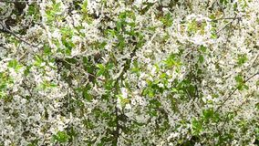 Cerasus avium. White cherry tree blossom fills the frame. Cerasus avium. Beautiful white blossom of myriads of cherry tree flowers and green leaves blown by wind stock footage