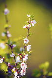 Cerasus blooms Royalty Free Stock Photography