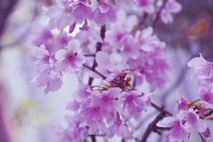 Cerasus jamasakura close up