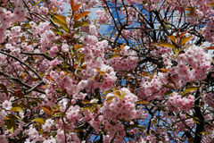 Cerasus serrulata. Japanese cherry blossoms in spring Royalty Free Stock Image