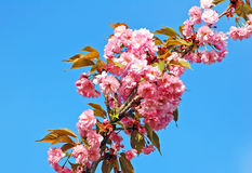 Cerasus serrulata (Japanese flowering cherry) Royalty Free Stock Photo