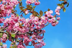 Cerasusserrulata (Japanse bloeiende kers) stock afbeeldingen