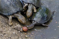 Cerated Hinged Terrapins - Kruger National Park Stock Photo