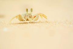 Ceratophthalama de Ocypode na areia Imagens de Stock Royalty Free