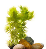Ceratophyllum demersum Stock Photo