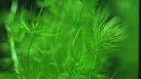 Ceratophyllumdemersum stock video