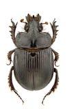 ceratophyus hoffmannseggi Obrazy Royalty Free