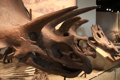 Ceratopsian (marginocephalian dinosaur) Royalty Free Stock Photos