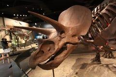 Ceratopsian (marginocephalian dinosaur) Royalty Free Stock Image