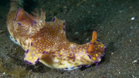 Ceratosoma tenue nudibranches stock video