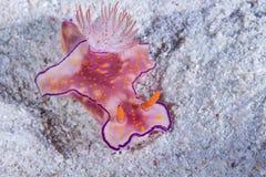 Ceratosoma trilobatum, Nudibranch,海参 库存照片