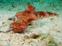 Ceratosoma trilobatum Stock Photo