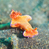 Ceratosoma trilobatum nudibranch Stock Photography