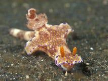 Ceratosoma van Nudibranch tenue Royalty-vrije Stock Fotografie