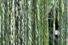 Ceratostema Rauhii Luteyn垂悬的灌木植物背景 库存图片