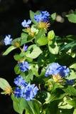 Ceratostigma flowers Stock Image