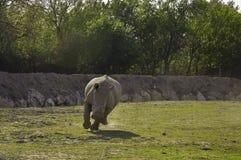ceratotherium nosorożec działający simum biel Fotografia Royalty Free