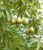 Cerbera在树的oddloam果子 免版税库存图片