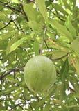 cerbera果子oddloam结构树 免版税图库摄影