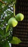 Cerbera oddloam fruit. On tree Stock Photo