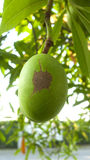 Cerbera oddloam fruit. On tree Stock Photos