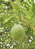 Cerbera oddloam fruit on tree Royalty Free Stock Photography