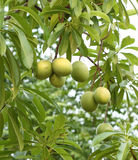 Cerbera oddloam fruit on tree Royalty Free Stock Images
