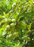 Cerbera oddloam fruit Stock Image