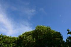 Cerbera odollam en blauw-hemelachtergrond Royalty-vrije Stock Afbeeldingen