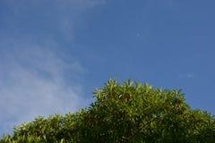 Cerbera odollam en blauw-hemelachtergrond Royalty-vrije Stock Foto's