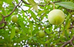 Apocynaceae Royalty Free Stock Photo